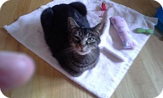 Domestic Shorthair Cat for adoption in Trenton, New Jersey - KC (Petco Hamilton Square)