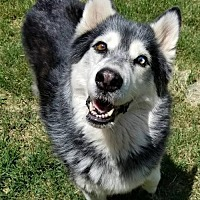 Siberian Husky Dog for adoption in Dayton, Maryland - Shadow - ON HOLD - NO MORE APPLICATIONS!