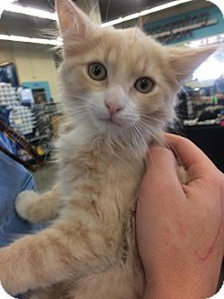 Maine Coon Kitten for adoption in Los Angeles, California - Wayne