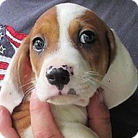 Adopt A Pet :: Dagwood - Germantown, MD