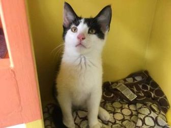 Domestic Shorthair/Domestic Shorthair Mix Cat for adoption in Chattanooga, Tennessee - Stefan