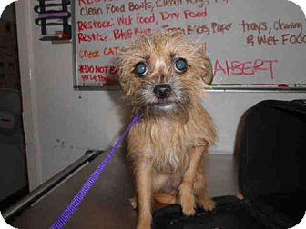 Terrier (Unknown Type, Medium)/Chihuahua Mix Dog for adoption in Long Beach, California - CHICA