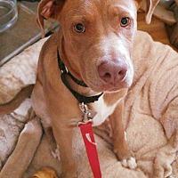 Labrador Retriever/Pit Bull Terrier Mix Puppy for adoption in High Point, North Carolina - Sam