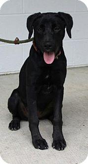 Labrador Retriever Mix Puppy for adoption in Harrisonburg, Virginia - Juliet