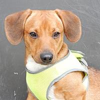 Adopt A Pet :: Hawkeye - Long Beach, NY