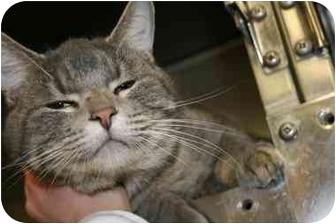Domestic Shorthair Cat for adoption in Saint Charles, Missouri - Mark