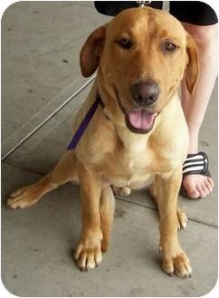 Labrador Retriever Mix Dog for adoption in Overland Park, Kansas - Tanner