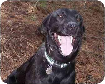 Labrador Retriever Mix Dog for adoption in kennebunkport, Maine - Lewis-PENDING