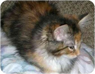 Calico Kitten for adoption in Mt. Prospect, Illinois - Charlotte