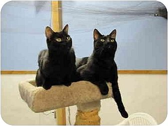 Domestic Shorthair Cat for adoption in Fayetteville, Arkansas - Squick