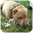 Photo 3 - American Pit Bull Terrier/Shar Pei Mix Dog for adoption in Freeport, New York - Daddy