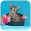 Photo 2 - Siamese Kitten for adoption in Taylor Mill, Kentucky - JuneBug