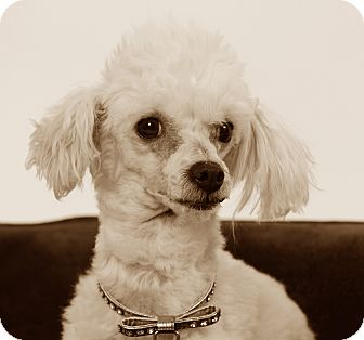 Poodle (Miniature) Dog for adoption in Studio City, California - Lucy