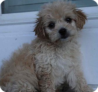 Maltese/Terrier (Unknown Type, Small) Mix Puppy for adoption in Yuba City, California - Aloha