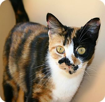 Domestic Shorthair Cat for adoption in Beacon, New York - Sugar