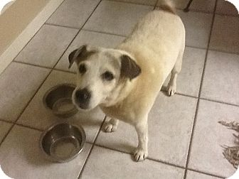 Jack Russell Terrier Dog for adoption in Austin, Texas - Jack Perlman in Houston