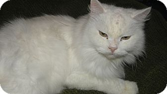 Maine Coon Cat for adoption in Lexington, Kentucky - Snow