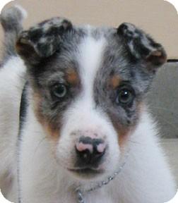 Australian Shepherd/Australian Cattle Dog Mix Puppy for adoption in Bonners Ferry, Idaho - Cosmo