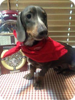 Dachshund Mix Dog for adoption in East Hartford, Connecticut - BLAKE  ADOPTION PENDING