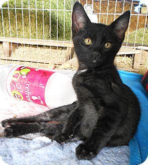 Domestic Shorthair Kitten for adoption in Chino Valley, Arizona - Darcy