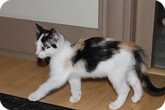 Calico Kitten for adoption in St. Louis, Missouri - Tripel
