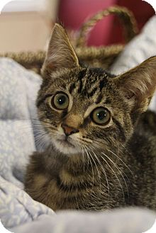 Domestic Shorthair Kitten for adoption in Chattanooga, Tennessee - Velma