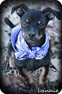 Miniature Pinscher/Chihuahua Mix Puppy for adoption in Glastonbury, Connecticut - LONNIE