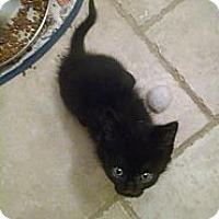 Adopt A Pet :: Rook (bottle fed) - Sterling Hgts, MI