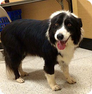 "Border Collie Dog for adoption in San Pedro, California - BABY GIRL ""BG"""