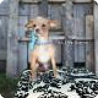 Adopt A Pet :: Millie - Shawnee Mission, KS