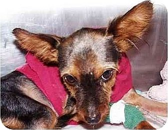 Papillon/Yorkie, Yorkshire Terrier Mix Dog for adoption in Old Fort, North Carolina - Henry-Pending