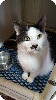 Domestic Shorthair Cat for adoption in Fairbury, Nebraska - Macom