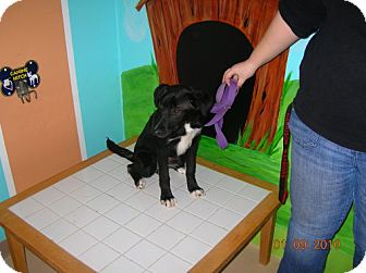 Border Collie Mix Dog for adoption in Newburgh, Indiana - Pepper