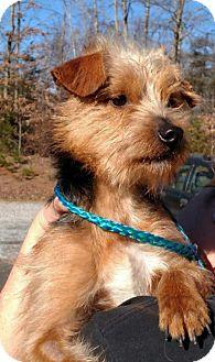 Yorkie, Yorkshire Terrier/Norfolk Terrier Mix Dog for adoption in Richmond, Virginia - Sherman