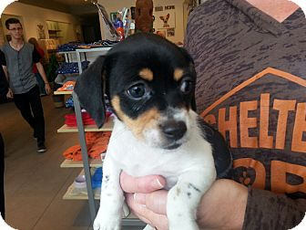 Chihuahua/Terrier (Unknown Type, Small) Mix Puppy for adoption in Valencia, California - Monica