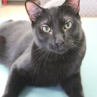 Domestic Shorthair Cat for adoption in Los Angeles, California - Moosh