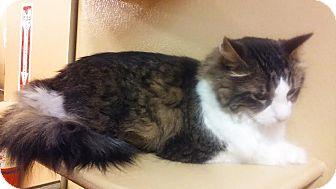 Domestic Longhair Cat for adoption in Manhattan, Kansas - Chuck