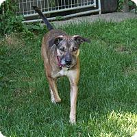 Catahoula Leopard Dog/Shepherd (Unknown Type) Mix Dog for adoption in Warren, Maine - Rufus - MA