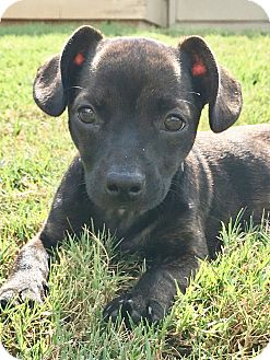 Boston Terrier/Chihuahua Mix Puppy for adoption in Courtland, Alabama - Honor