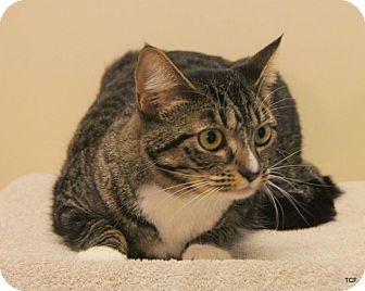 Domestic Shorthair Cat for adoption in Bellingham, Washington - Addy