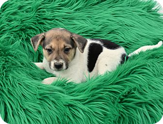 Shepherd (Unknown Type) Mix Puppy for adoption in Groton, Massachusetts - Beck