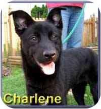 Labrador Retriever/Shepherd (Unknown Type) Mix Dog for adoption in Aldie, Virginia - Charlene
