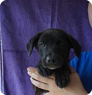 Labrador Retriever/Golden Retriever Mix Puppy for adoption in Oviedo, Florida - Jake