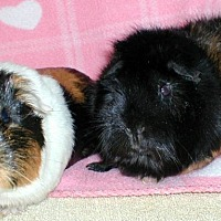 Guinea Pig for adoption in Highland, Indiana - Pizhu