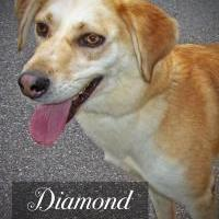 Adopt A Pet :: Diamond - Franklin, NC