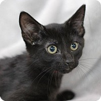Domestic Shorthair Cat for adoption in Raleigh, North Carolina - Poe K