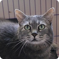 Adopt A Pet :: Kitty-declawed, indoor only - Priest River, ID