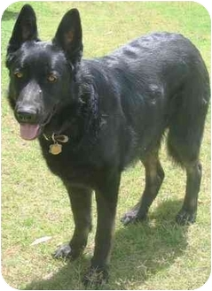 German Shepherd Dog Dog for adoption in Gilbert, Arizona - Chief