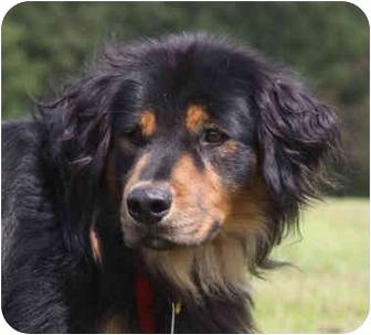 Bernese Mountain Dog/Shepherd (Unknown Type) Mix Dog for adoption in Buffalo, New York - Gilbert: Gentle Giant