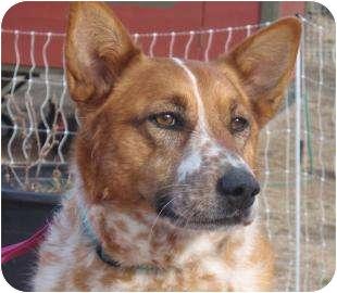 Australian Cattle Dog Mix Dog for adoption in Portland, Oregon - Stella